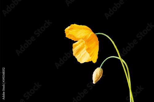 Photo Orange Poppy on a Balck Background