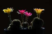 Cactus Flowers Planted In Black Plastic Pots