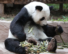Chinese Tourist Symbol And Attraction - Giant Panda Bear Eating Bamboo