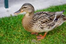 Female Duck Walking Around On Meadow In Park Of Visitors In Disneyland Paris.