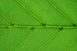 Macro shot of a green leaf of a shrub, backlit. Abstract illustration.