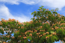 Delicate Decorative Pink Tree Albicia Lankaran Blooms In The Resort Town. Beautiful Openwork Crown Albizia Julibrissin, Japanese Silk Acacia, Persian Tree On A Background Of Blue Sky