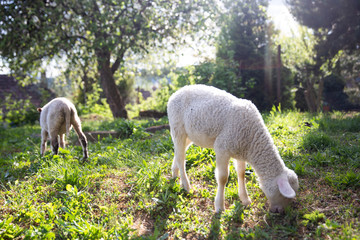 Obraz na płótnie Canvas Two cute little lamb. Small sheep at the farm. Healthy agriculture environment. Happy animal farm life.