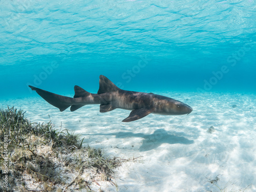 Valokuva Nurse shark swimming over the sand, the Bahamas.