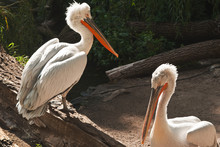 Two Pelicans In The Zoo In The...