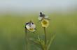 Fiołek polny  Viola arvensis