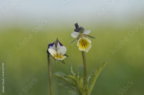 Fototapeta Fiołek polny  Viola arvensis obraz