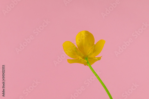 Close up of a wild flower meadow buttercup, scientific name Ranunculus acris, is Wallpaper Mural