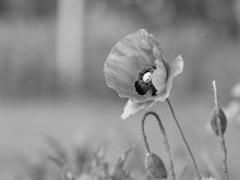 Black And White Image Of Poppy Flowers