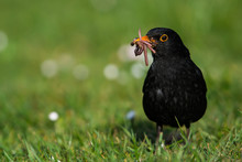 Caring Father. Male Of Blackbird With Worms In Its Beak. His Latin Name Is Turdus Merula.
