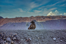 Baboon On The Edge