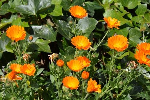 Obraz orange calendulas flower in the garden - fototapety do salonu