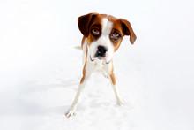 Terrier Dog Caricature Portrait
