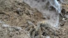 An Alert Female Baboon Spider,...
