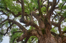 The Sacred Camphor Tree Of Hir...