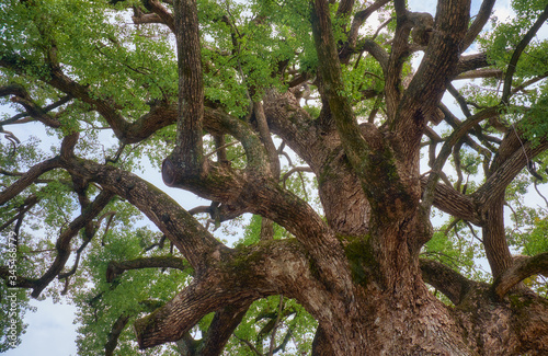 Fényképezés The sacred camphor tree of Hirano Shrine.  Kyoto. Japan