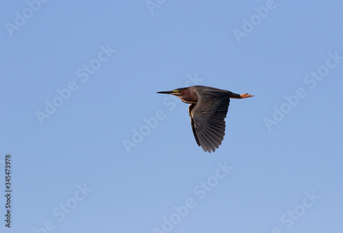 Green Heron (Butorides virescens) In Flight On Blue Sky Background