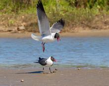 The Courtship Ritual Of Laughing Gulls (Leucophaeus Atricilla)