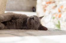 クロアチアの猫
