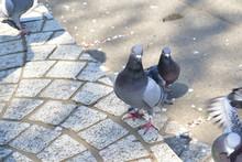 ハト (Pigeon)