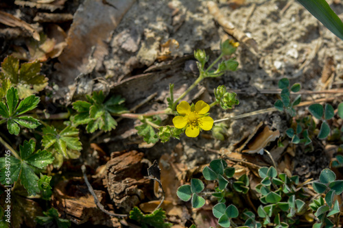 Potentilla arenaria is a a plant of family Rosaceae Fototapet