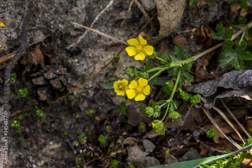 Potentilla arenaria is a a plant of family Rosaceae Billede på lærred