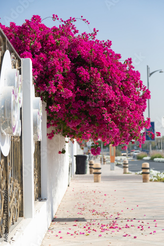 A tree with red flowers in the city. A branch from the home garden with vibrant colors hangs over the road.