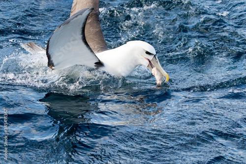 Shy Albatross (Thalassarche Cauta), Tasmania, Australia Fototapeta