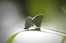 Close-up Of Butterflies Mating On Grass