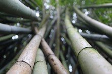 Close-up Of Bamboos