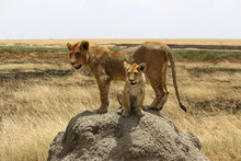 Lioness And Cub On Rock At Field