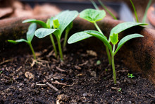 Healthy New Growth Of Squash S...
