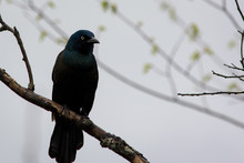 Grackle On Branch With Foggy B...