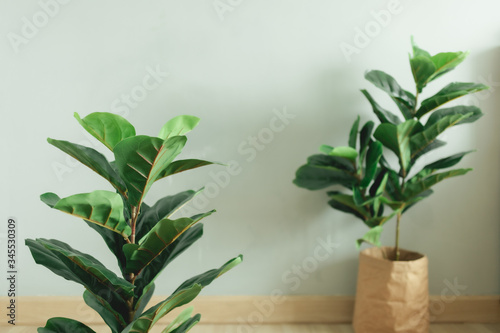 Fotografia, Obraz Fiddle Leaf Fig plant with paper pot stand in the room of an apartment