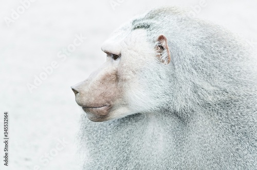 Close-up Of Baboon Looking Away During Winter Canvas Print