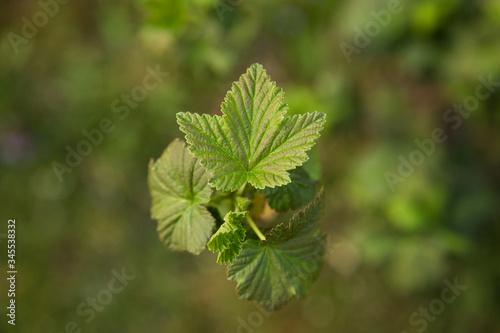 Obraz Zielony liść. Zbliżenie na zielony liść krzewu. Krzew. - fototapety do salonu