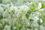 Fototapeta Kwiaty - Wiosenne białe kwiaty, kwitnące girlandy czeremchy
