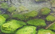 Green Algae On Large Stones In...