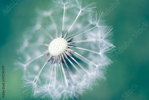Fototapety, obrazy: Closeup of white fluffy dandelion