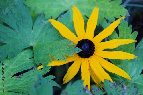 Fotografie, Tablou Close-up Of Yellow Black-eyed Susan Blooming Outdoors