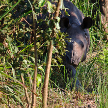 Rhino About To Exit The Bush
