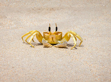 Close-up Of Golden Ghost Crab On Sand At Beach