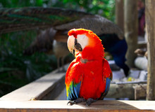 Scarlet Macaw Parrot. Parrot.