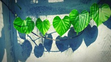 Green Heart Shape Leaves On Vine With Shadow On Wall