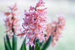 canvas print picture Spring hyacinth in pastel peach color