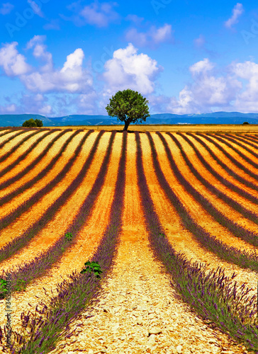Fototapety, obrazy: Picturesque fields of lavander and lonely tree over horizont, Valensole, France