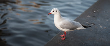 Typical Amsterdam Seagull. Eur...