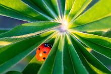 Ladybug On Lupin Leaf