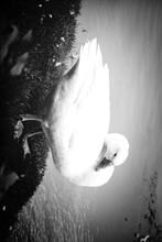 White Duck Standing On Lake Sh...