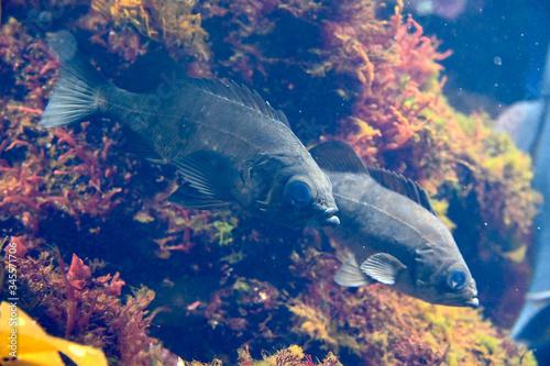 波に揉まれながら水中を泳ぐクロメバル(日本の新江ノ島水族館) Wallpaper Mural